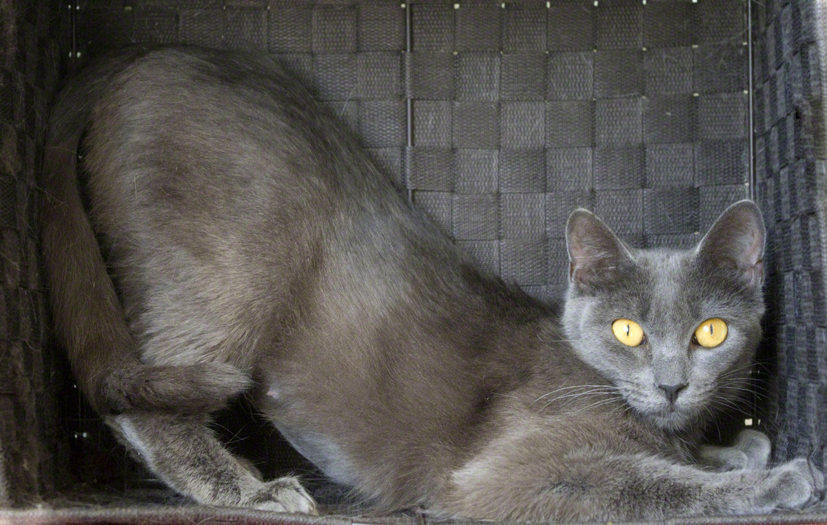 The Russian Blues elegant yet muscular body led one cat judge to proclaim him the Doberman Pinscher of cats